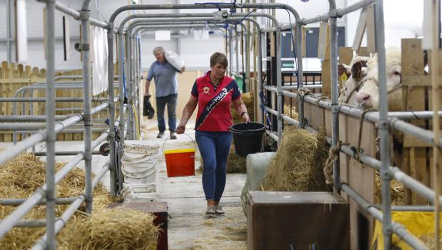 A woman tends to her cattle as she prepares for the opening of the Balmoral Show