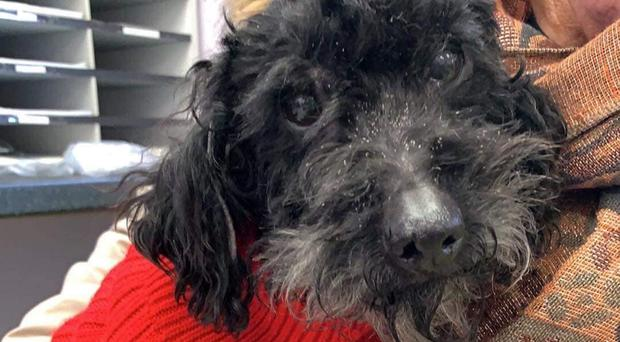 Rescued: Moses the pet poodle