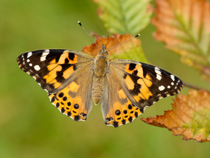 Winged wonder: A painted lady butterfly