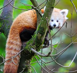 Amber the Red Panda back home after her big adventure
