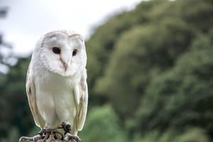 The beautiful barn owl