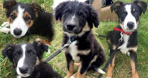 Rainbow Rehoming Centre director Anna Hyndman said the cross collie pups, aged between three and four months, are now hoping to find their forever homes