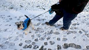 Ozzy the dog walks a chilly path through Falkirk Tryst golf club near Larbert, Scotland