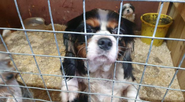 A puppy that has been rescued by police in Co Tyrone (PSNI/PA)