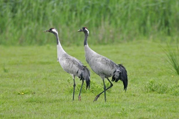 A pair of common cranes