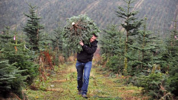 A council's plan to grow its own Christmas trees has been scuppered after an expert  cautioned against it