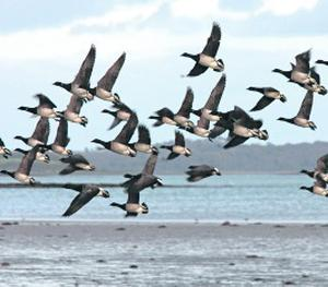 Canadian Brent Geese in flight on Strangford Lough. Picture by Bernie Brown