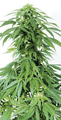 Man claimed ownership of £400,000 of cannabis plants