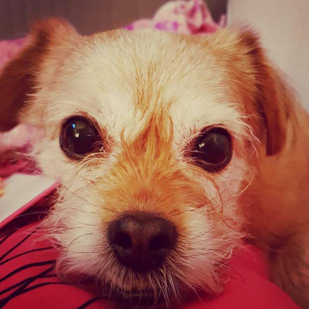 Yorkshire terrier Evie was killed after being attacked by a marauding Staffordshire bull terrier in Newtownards