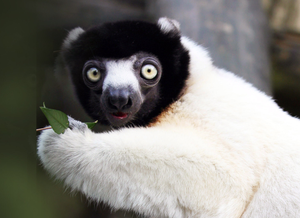 A crowned sifaka monkey