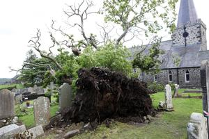 The Spanish Chestnut Tree at St Patrick's Church of Ireland, Cairncastle after it fell over.