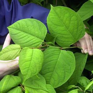 The invasive Japanese knotweed has cost millions of pounds a year to control