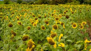 The sea of sunflowers