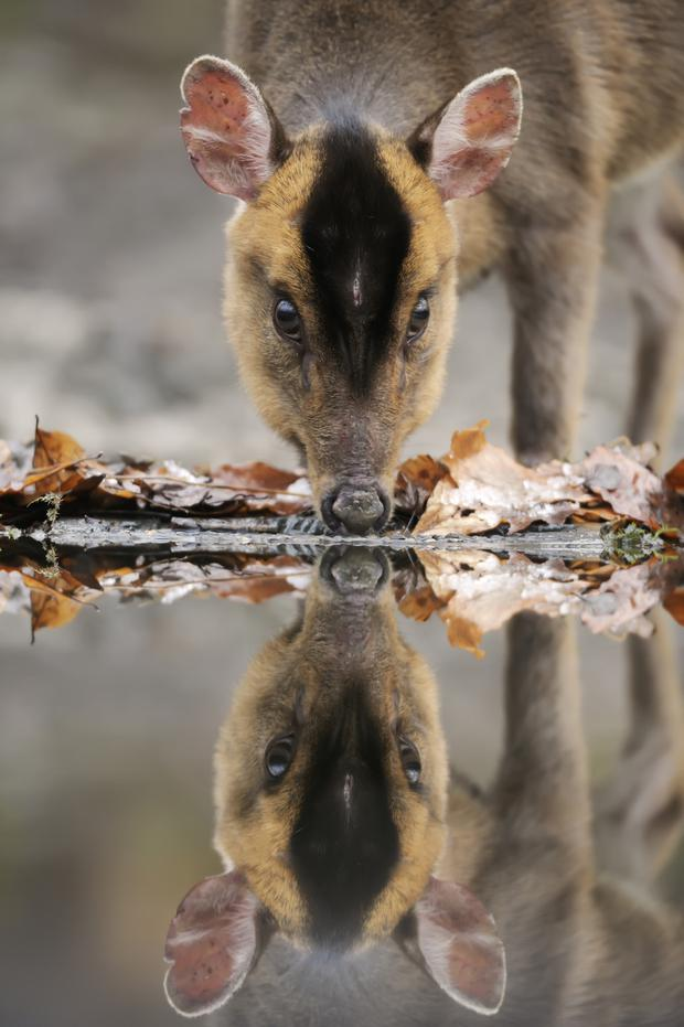 A Reeves's muntjac