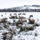 Sheep graze in the snow outside Claudy yesterday
