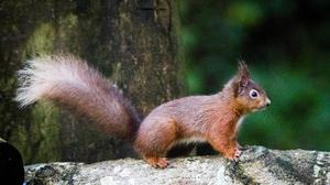 Red squirrel foraging for food in the woodlands outside Mount Stewart in Co. Down, Northern Ireland.