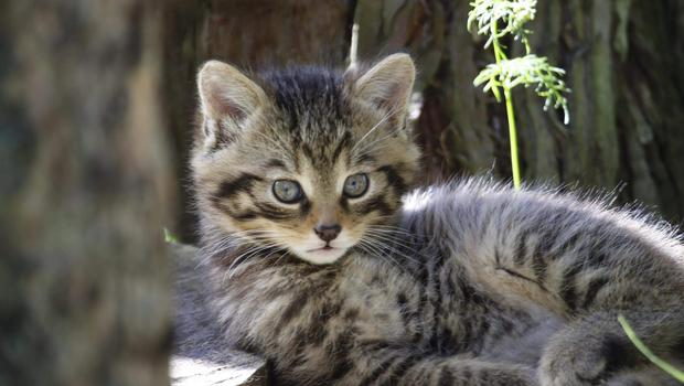 Belfast Zoo's new Scottish wildcat couple and native species, Oscar and Ossian