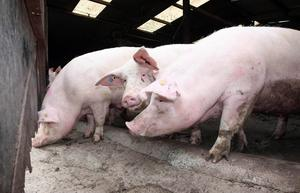 Outraged residents last night voiced their opposition to proposals for a massive new pig farm in Limavady. File image