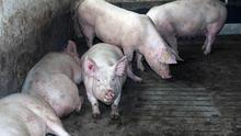 Some of the pigs on Derek Hall's farm at Old Carrick Road