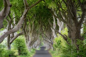 A tunnel under the famous Dark Hedges is one of the options being considered by Causeway Coast and Glens Council