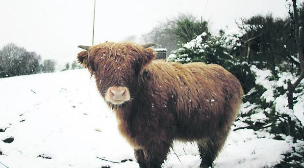 Highland cow braves the elements on the Trassey road
