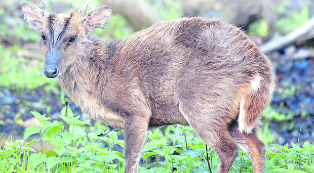 The voracious muntjac is a pest