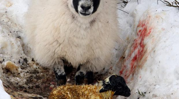 Farmers struggled to locate missing livestock after heavy snowfall