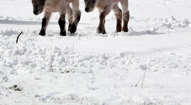 Thousands of cattle, sheep and lambs are believed to have perished when blizzard conditions hit last weekend