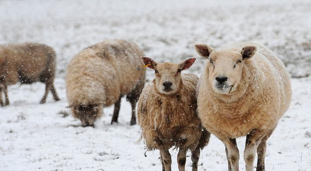 More than 3,000 farm animals died when a blizzard engulfed Northern Ireland