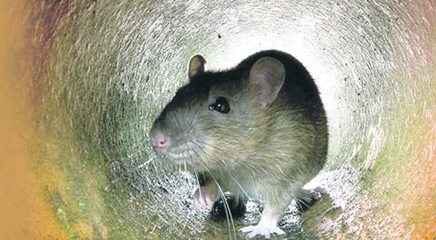 """The plane had to be taken to a bay for fumigation to """"eliminate"""" all rats on board."""