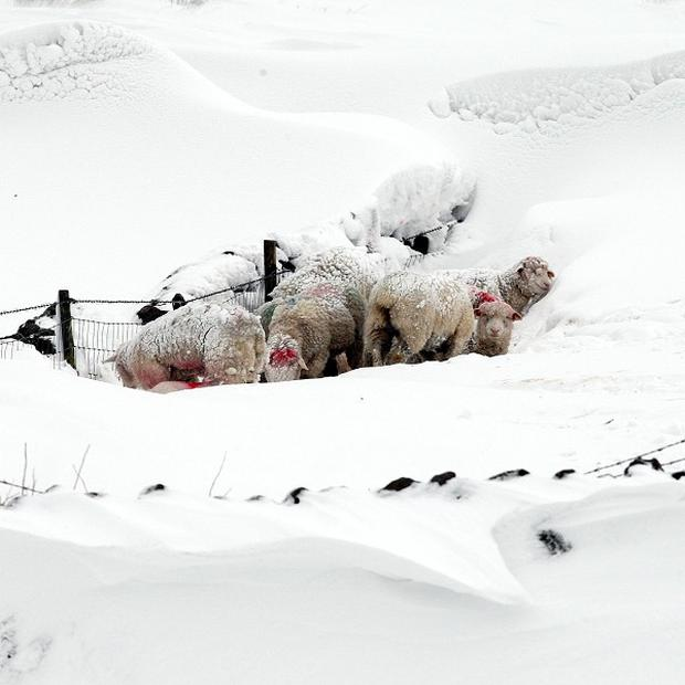 Thousands of farm animals which died when snowdrifts enveloped parts of Northern Ireland