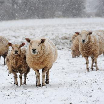 Thousands of sheep were buried in heavy snow last month, and owners were unable to make it into some remote areas to deliver feed