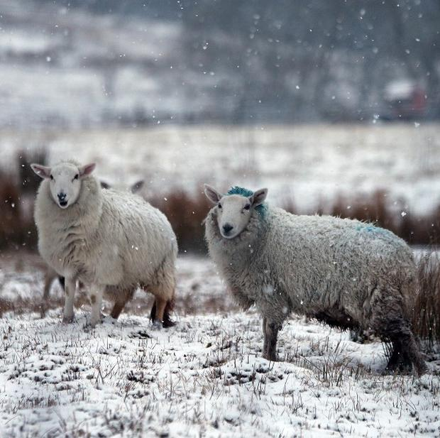Snow drifts in parts of counties Down and Antrim left sheep stranded in remote areas
