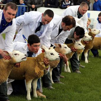 Farmers prepare their sheep for show on the first day of the Balmoral show at its new site, the former Maze prison outside Lisburn in Co Antrim