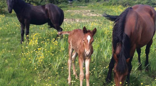 Two horses and a foal taken from hills