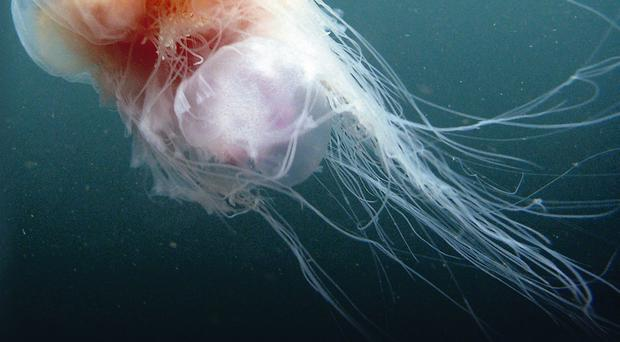 Jellyfish stings can cause cramp, blisters and even affect the heart