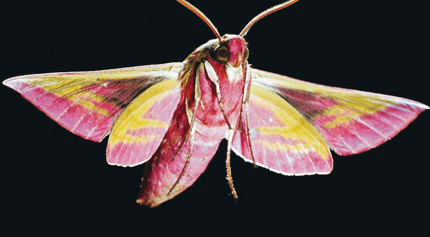 Caterpillars of the elephant hawk-moth have been spotted in local gardens and should transform into their flying form next summer