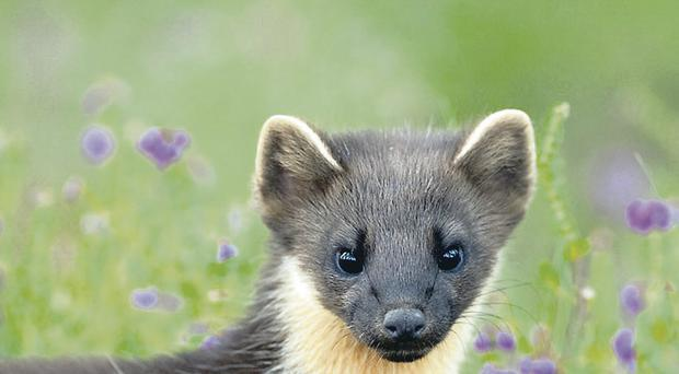 Native Irish pine marten