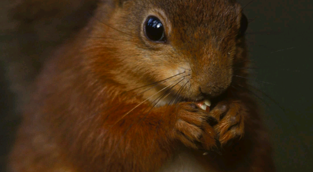 The native red squirrel is under threat from the invasive grey