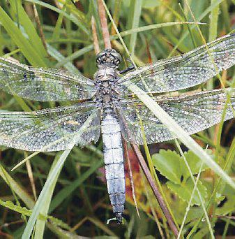 Rare: The black-tailed skimmer