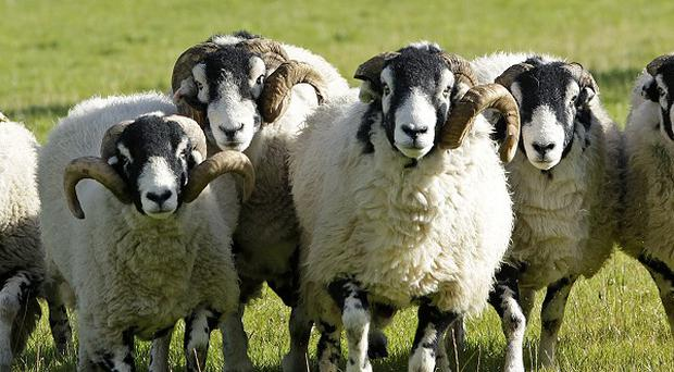 Sheep have been found mauled in the Hillsborough and Dromara areas of Co Down.
