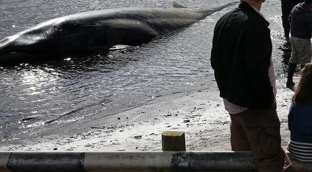 Local people watch a rare nine-metre long Sei whale which was discovered on a small beach in Waterfoot, Co Antrim