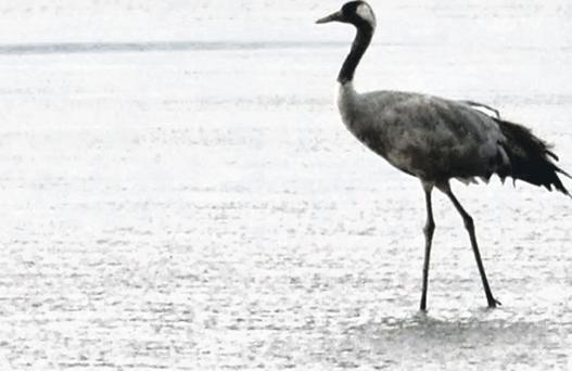 The common crane that was spotted at the Roe Estuary