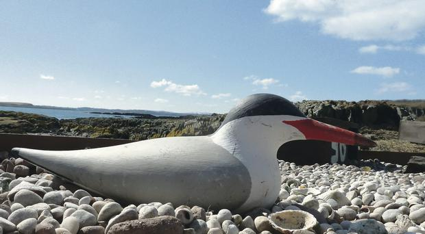 Artificial attraction: this fake tern helped attract real ones