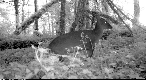 Night watch: a Muntjac pictured by special cameras