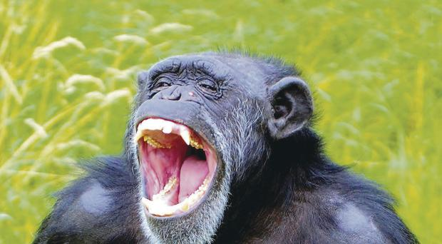 Chimpanzee by Tony Hunter