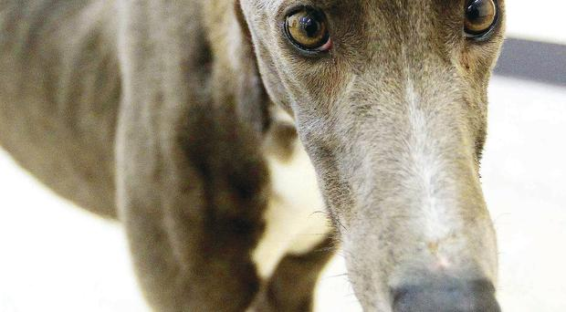 Greyhound Norman at Mid Antrim Sanctuary after being abandoned with his ears cut off