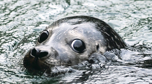 One of the seals at Exploris aquarium in Portaferry