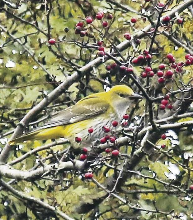 The elusive golden oriole feeds in Co Down, the first seen in Northern Ireland in 56 years