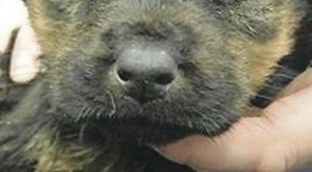 The little German shepherd succumbed to her injuries, dying in the arms of a veterinary nurse after a day-and-a-half